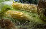 Использование кукурузных рылец для лечения почек: как правильно заваривать