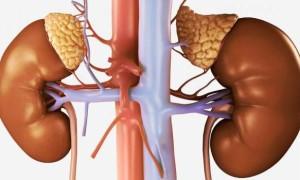 Строение надпочечников: основные функции и гормоны