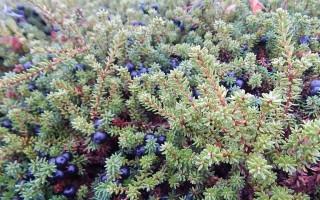 Какие лечебные свойства имеют медвежьи ягоды и где их используют в урологии?