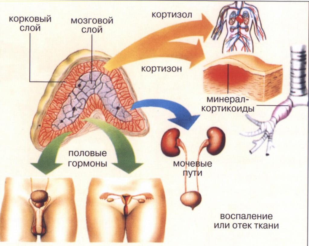 Мозговой слой надпочечников
