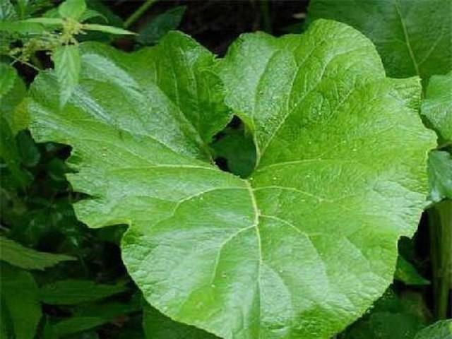 Листья лопуха