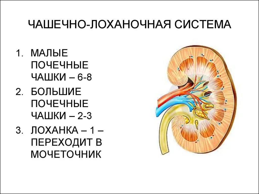 Чашечно-лоханочная система