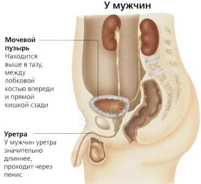 Строение мочевого пузыря у мужчин
