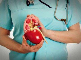 врач держит макет почки