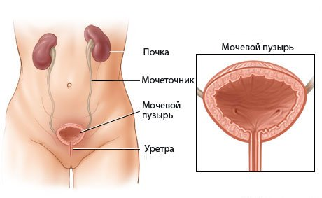 расположение мочевого пузыря