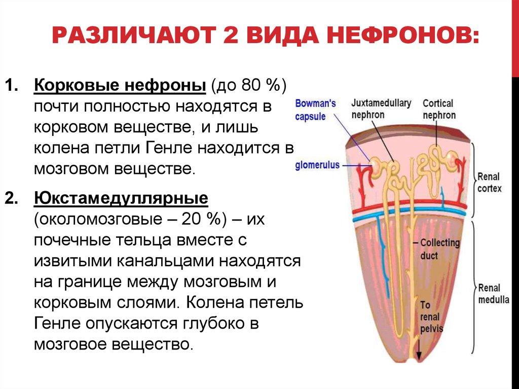 В каком отделе нефрона происходит фильтрация