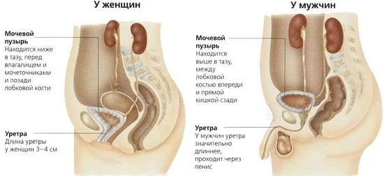 схема мочеполовой системы у мужчин и женщин