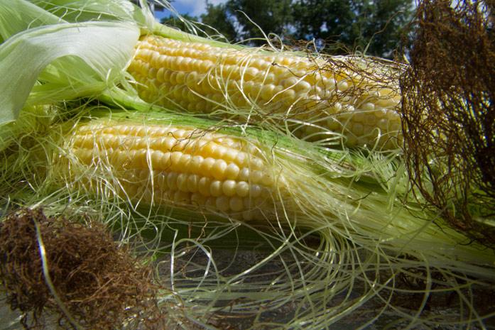 кукуруза и рыльца