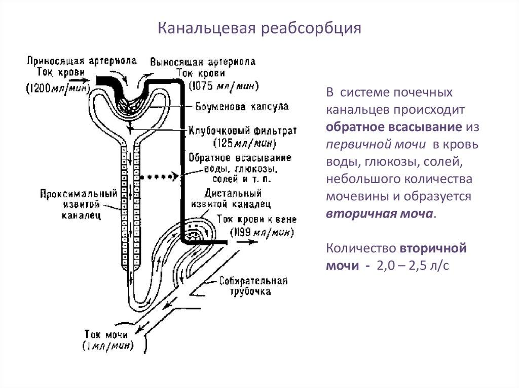 канальцевая реабсорбция