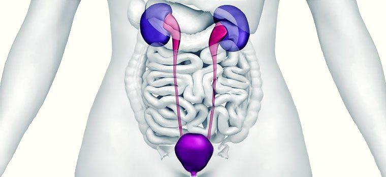 почки и мочевой пузырь в организме человека
